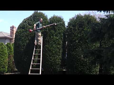 16ft Gigantic Arborvitae - Shrub Trimming