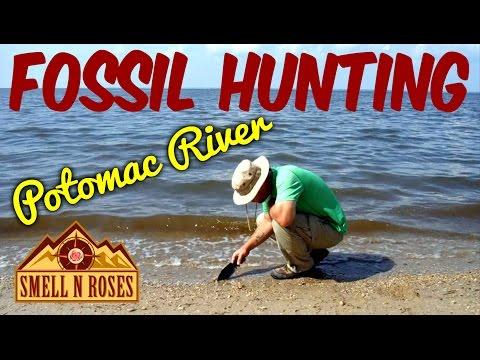 Hunting Shark Teeth on the Potomac River