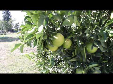Citrus Farm in South Africa