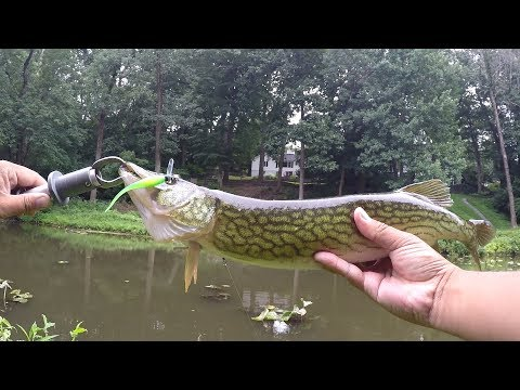 Caught a NICE CHAIN PICKEREL on The JENKO COMBO (Yardley, PA) (TLFF)