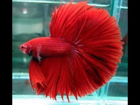 How to care Betta Fish In Hindi ( Low-Maintenance Fish Anyone Can Keep Alive)