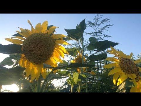 Ep177 - Stonehaven Sunflowers!