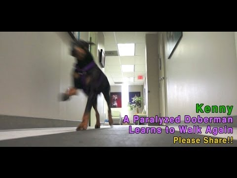 Kenny - A Paralyzed Doberman Learns To Walk Again - PLEASE SHARE