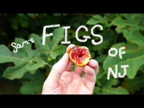 Figs growing in New Jersey
