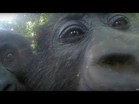 Mirror Mirror: Gorillas React To Their Reflection - Gorilla Family and Me - BBC Earth