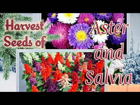 Gather Seeds from ASTER and SALVIA in an Easy way.