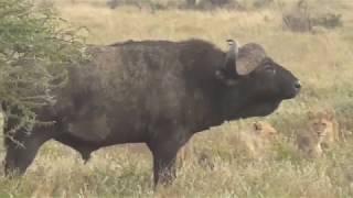 Lions vs Buffalo; Tanzania Safari highlights