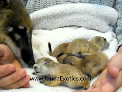 Prairie Dog babies, Prairie dogs as pets, Our bottle babies