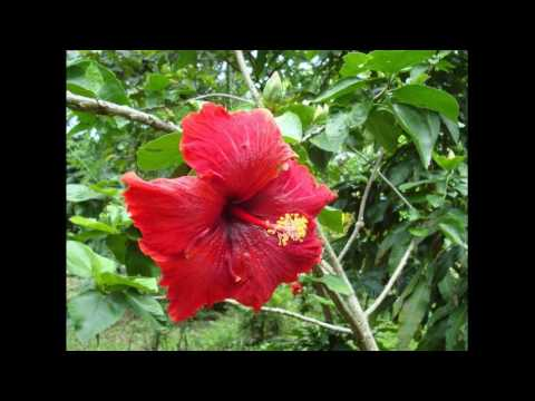 Homemade Hibiscus Shampoo Helps To Reduce Hair Fall How It Works