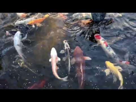 Spring Feeding Frenzy in the Koi Pond