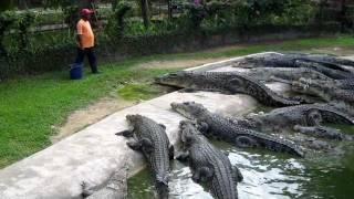 Crocodile Feeding at Langkawi Crocodile Farm