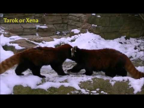 What Sound Does a Red Panda Make?
