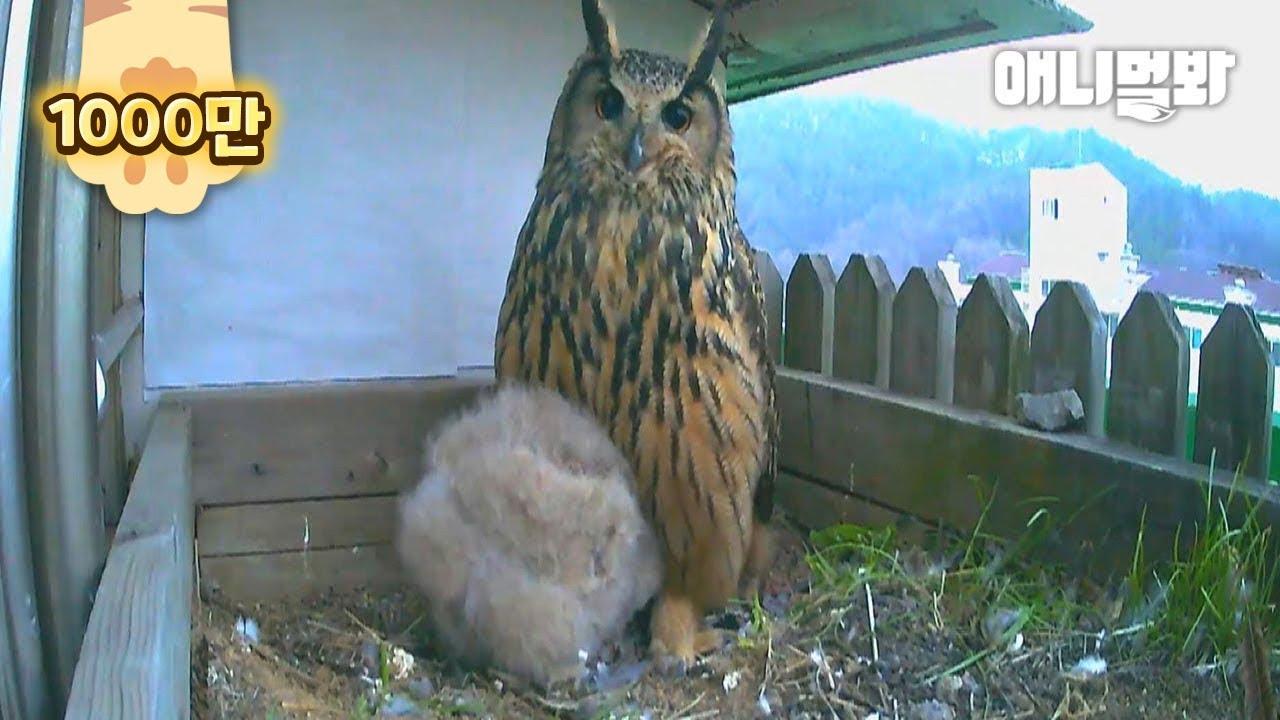 부화를 포기한 수리 부엉이 부부.. 알을 바꿔치기하자 보인 놀라운 반응ㅣHappy Eagle Owl Couple Gave Up Hatching Their Egg, Because..