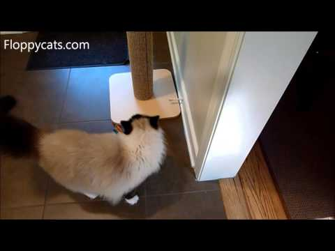 Ragdoll Cats Watch