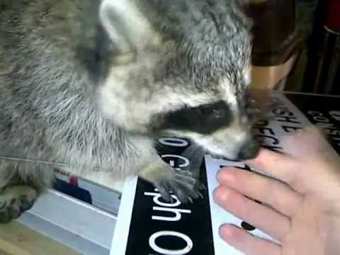 friendly raccoon loves getting scratched