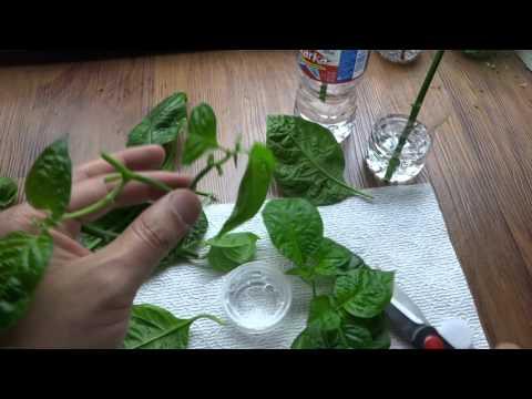 Propagating Plants - Propagate Pepper Plants from Cuttings