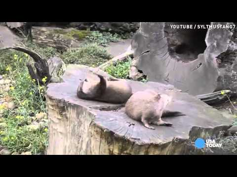 Fill your cute quota: Sea otter plays catch
