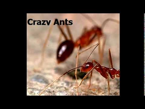 Kill Crazy Ants - Crazy Ants in Houston, Cypress & The Woodlands