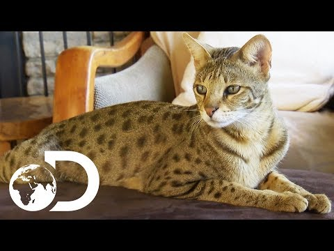 The Savannah: The Largest Domestic Cats in the World   Cats 101