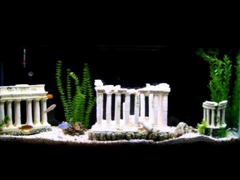 55 Gallon Fish Tank Aquarium Of Assorted African Cichlids Greek Atlantis Coliseum Theme Decorations.
