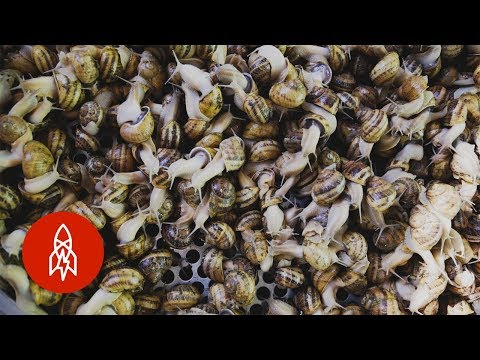 Harvesting Snail Slime for Beauty Products