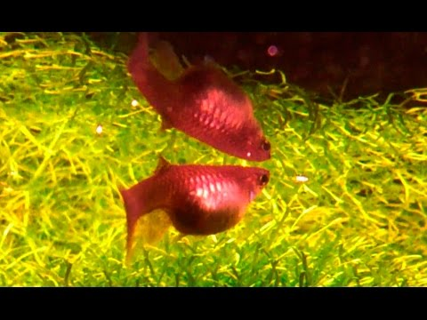 How to know if a Guppy, Molly, Platy or Swordtail is about to give birth ᴴᴰ