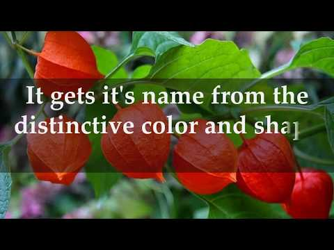 Facts about Chinese Lantern Plants