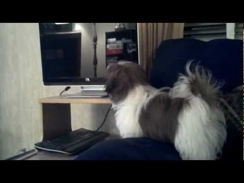 Gizmo the Shih Tzu barks at Dogs on TV