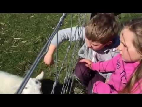 Lambs on the Isle of Iona, Scotland