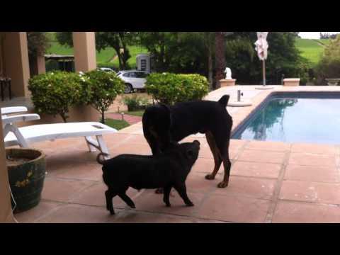 Pig Jumps Dog