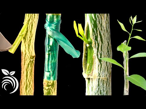 Grafting Orange Trees – How to Graft a Tree by T-budding