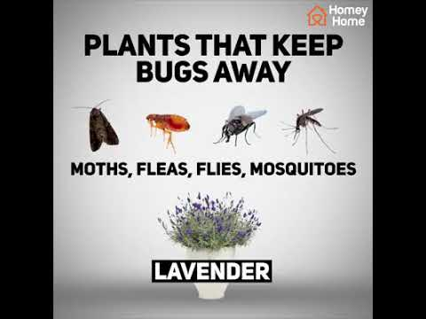 Major plants that will keep bugs away from you || Bugs replent plant 2017