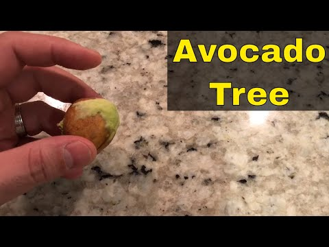 How To Grow An Avocado Tree From A Seed-Tutorial