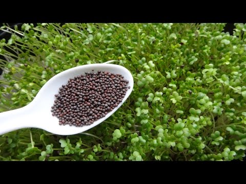 How to Grow Microgreens - Mustard Microgreens Two Different Methods
