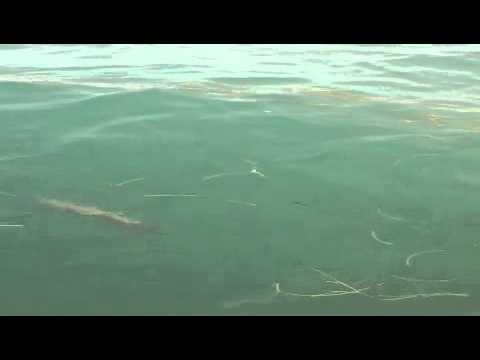 Gag Grouper eating pinfish on the surface