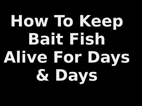 Keep Pin Fish For Bait  Alive  For Many Hours Big Snook Caught In Video