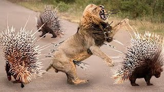 Top 10 Animals Can't TAKE DOWN PORCUPINE Too Danger  Porcupine vs Lion, Python, Leopard, Impala