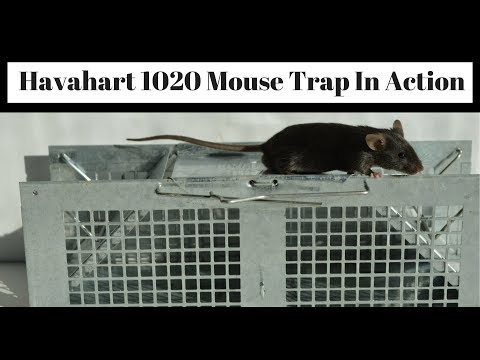 Havahart 1020 Mouse Trap In Action With Pet & Wild Mice. Live Catch Cage Trap.