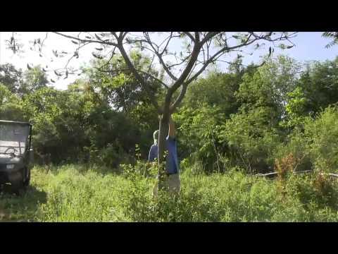 Hinge Cutting Sumacs to make a natural deer food plot