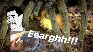 A very very JUICY TARANTULA FEEDING video !!! ~ Tarantula CANDY !!!
