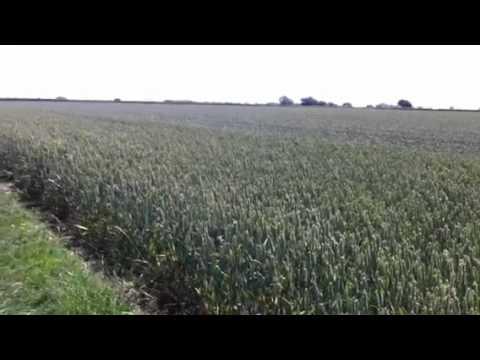 Springer Spaniel jumping for joy - running through corn - It's Springer Loaded!