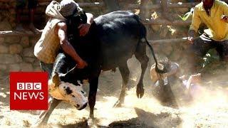 Bull wrestling for love in Madagascar - BBC News
