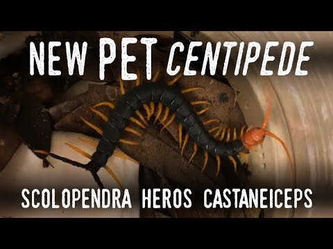 Setting up a GIANT REDHEADED CENTIPEDE (New Addition!)