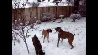 THREE BOXER DOGS PLAYING IN THE SNOW