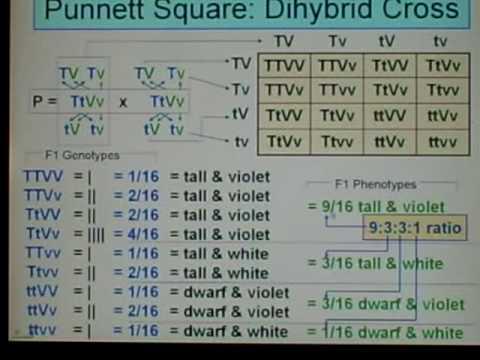 Genetics: Dihybrid Cross: 04