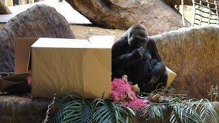 2018 Toronto Zoo Gorilla Baby Received Her Name (4K)