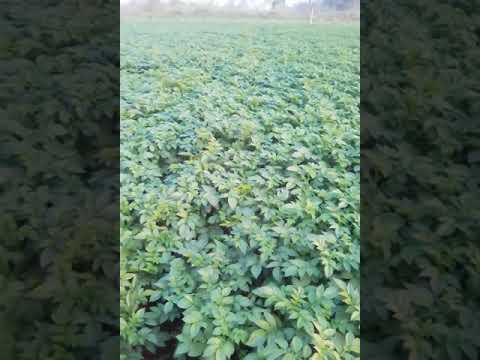 Netsurf Potato Result In Amroha Up