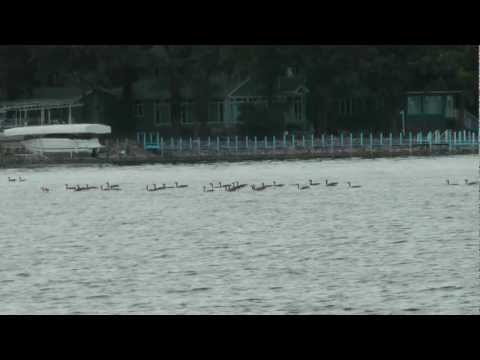 Canada Goose Greeting Calls as they Dip and Roll. Flocks respond to other Geese honk