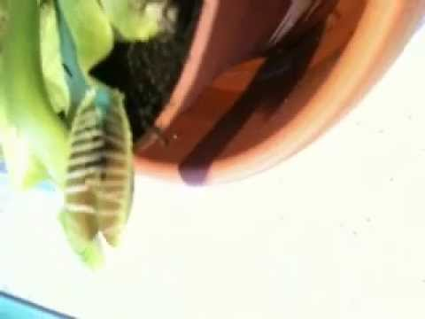 Venus Fly Trap Catching a Fly