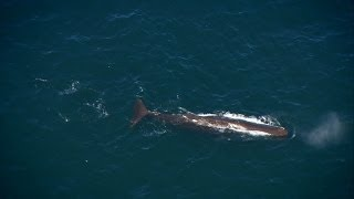 Enormous Sperm Whale Spotted | Deadly 60 | Series 3 | BBC